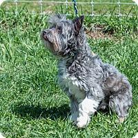 Adopt A Pet :: BEAR - Coudersport, PA