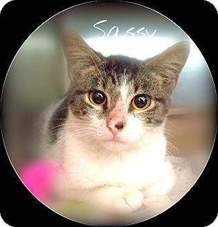 Domestic Shorthair Cat for adoption in Ocala, Florida - CURTIS