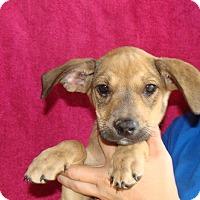 Adopt A Pet :: Mccoy - Oviedo, FL