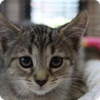 Adopt A Pet :: Victoria - Sarasota, FL