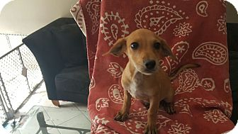 Chihuahua/Terrier (Unknown Type, Small) Mix Puppy for adoption in Lake In The Hills, Illinois - Charlie