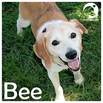 Beagle Mix Dog for adoption in Pittsburgh, Pennsylvania - Bee