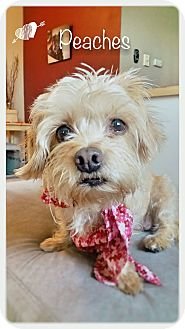 Cairn Terrier/Terrier (Unknown Type, Small) Mix Dog for adoption in Renton, Washington - Peaches