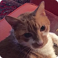 Adopt A Pet :: Sherbert - Courtesy Listing - Sparta, NJ