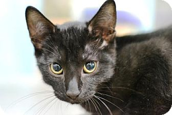 Domestic Shorthair Kitten for adoption in New Orleans, Louisiana - Holmes