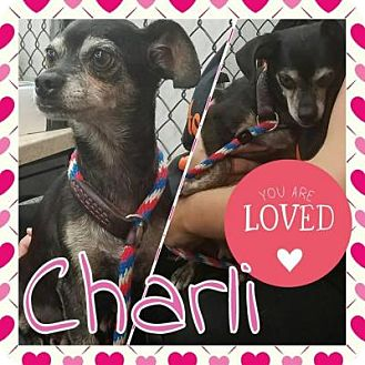 Chihuahua Mix Dog for adoption in Plainfield, Illinois - Charli