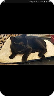 Domestic Shorthair Cat for adoption in Ortonville, Michigan - Echo