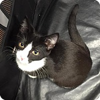 Domestic Shorthair Kitten for adoption in Freeport, New York - Tiny Timatha