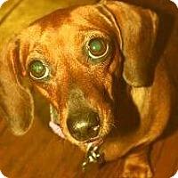 Adopt A Pet :: Presly - Humble, TX
