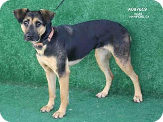 German Shepherd Dog Mix Dog for adoption in Hanford, California - A087619