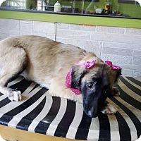 Retriever (Unknown Type)/Border Collie Mix Puppy for adoption in Eastsound, Washington - ANAIS