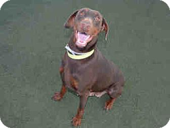 Doberman Pinscher Dog for adoption in Tracy, California - Sheba