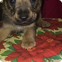 Border Collie/Polish Lowland Sheepdog Mix Puppy for adoption in Boerne, Texas - Brutus