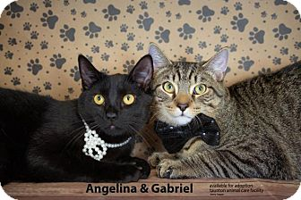 Domestic Shorthair Cat for adoption in Brockton, Massachusetts - Angelina & Gabriel