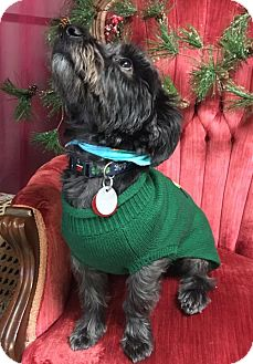 Poodle (Miniature)/Maltese Mix Dog for adoption in Beloit, Wisconsin - Marvin