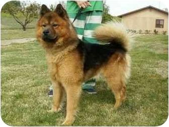 ... Dog | ID#A061869 | Auburn, CA | Chow Chow/German Shepherd Dog Mix