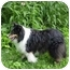 Photo 4 - Sheltie, Shetland Sheepdog Dog for adoption in Mission, Kansas - Colin