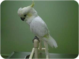 Cockatoo for adoption in St. Louis, Missouri - ChooChoo