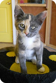Calico Kitten for adoption in Mobile, Alabama - Mirage