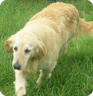 Golden Retriever Dog for adoption in Prole, Iowa - Misty