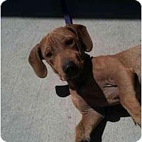 Adopt A Pet :: Adonis - Scottsdale, AZ