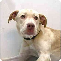 Adopt A Pet :: Shamrock - Port Washington, NY