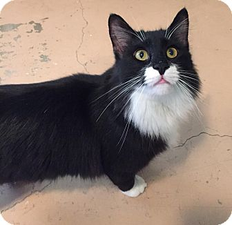 Domestic Longhair Cat for adoption in Temecula, California - Prince