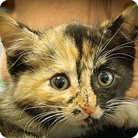 Adopt A Pet :: Dixie Chopper - Ann Arbor, MI
