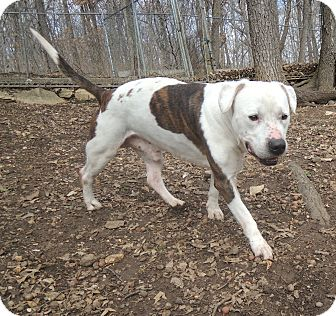 Bulldog/Pit Bull Terrier Mix Dog for adoption in House Springs, Missouri - Old Man Spot