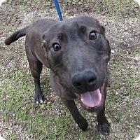 Adopt A Pet :: Cookie aka Oreo the Lab Puppy - Midlothian, VA