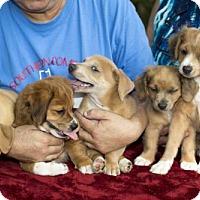 Adopt A Pet :: Collin - Alvin, TX