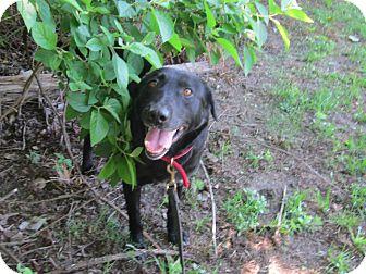 Labrador Retriever/Hound (Unknown Type) Mix Dog for adoption in Mount Holly, New Jersey - Bernie