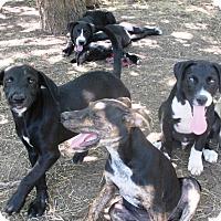 Adopt A Pet :: Men in Black pups - Godley, TX
