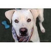 Labrador Retriever/Terrier (Unknown Type, Small) Mix Dog for adoption in Scottsdale, Arizona - Wyatt