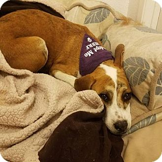 Beagle/Boxer Mix Dog for adoption in Las Vegas, Nevada - Trista