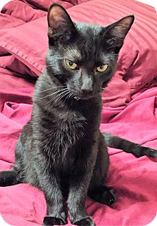 Domestic Mediumhair Kitten for adoption in Coldspring, Texas - Smokey