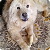 Chow Chow Dog for adoption in Tucker, Georgia - Molly