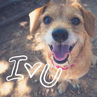 Border Terrier Mix Dog for adoption in Cedar Creek, Texas - Trevor