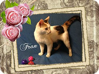 Domestic Shorthair Cat for adoption in Buffalo, Indiana - Fran is ADOPTED