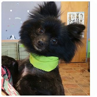 Pomeranian Mix Dog for adoption in Charlotte, North Carolina - Chester
