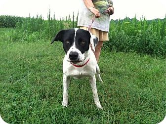 Pointer/Labrador Retriever Mix Dog for adoption in Lebanon, Maine - Bandit-URGENT in GA