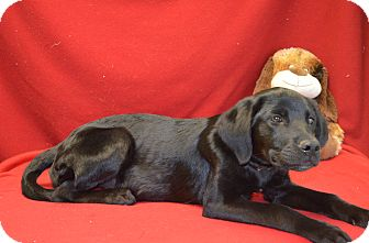 Labrador Retriever Mix Dog for adoption in New Cumberland, West Virginia - Harla