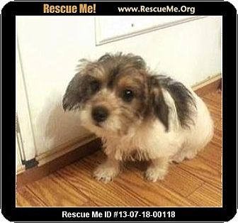 Havanese/Poodle (Miniature) Mix Puppy for adoption in Boulder, Colorado - Samuel