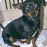 Adopt A Pet :: Marmalade - dewey, AZ