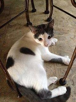 Domestic Shorthair Cat for adoption in Clarkson, Kentucky - Mitts McGillicuddy
