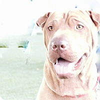 Adopt A Pet :: Max - CGC & at foster to adopt - Mira Loma, CA