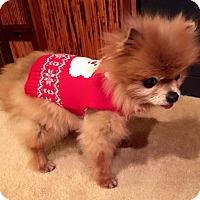 Adopt A Pet :: Phoebe - Henderson, NV