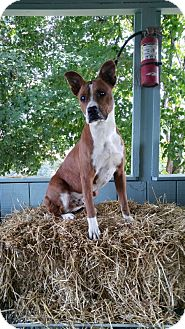 Boxer/American Pit Bull Terrier Mix Dog for adoption in Columbia, Kentucky - Ollie