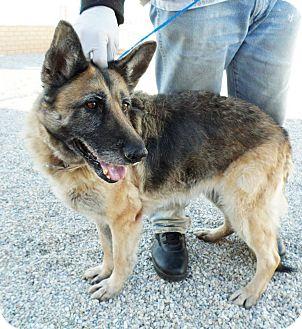 German Shepherd Dog Dog for adoption in San Diego, California - Ginna