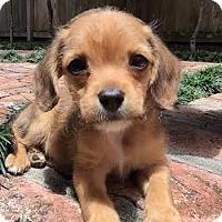Adopt A Pet :: Jesse Pinkman - Houston, TX